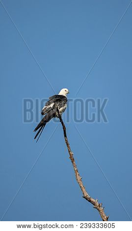 Swallow-tailed kite perches high in a tree and preens his feathers in the Corkscrew Swamp Sanctuary of Naples, Florida stock photo