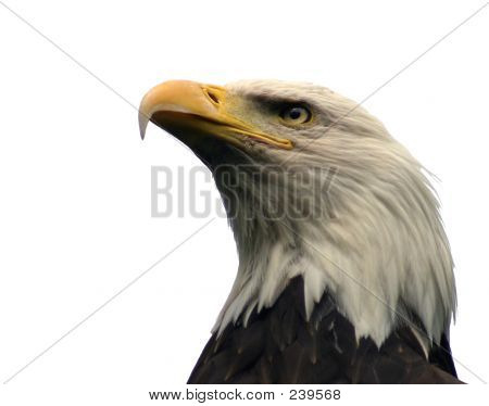 a profile shot of a bald eagle, composed from below, looking up at the bird's head and neck.  isolated on a white background. stock photo