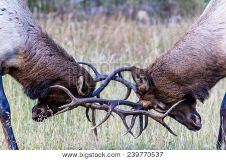 two bull elk sparing during the mating season to see who will win the hooves of the females in the herd stock photo