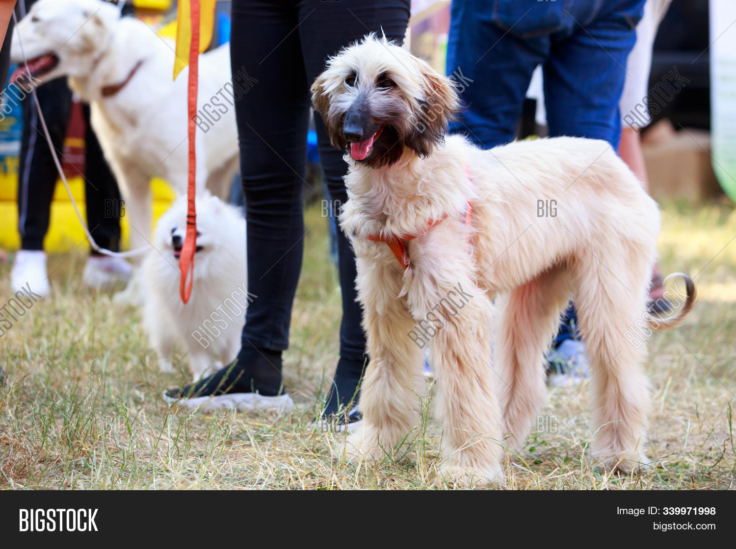 Afghan,adorable,animal,background,beautiful,beige,big,black,breed,brown,canine,carnivore,companion,curly,cute,dog,doggy,domestic,grass,green,happy,hound,lactic,long-haired,looking,mammal,nature,outdoor,outside,park,pedigree,pedigreed,pet,portrait,pup,purebred,stand,wildlife