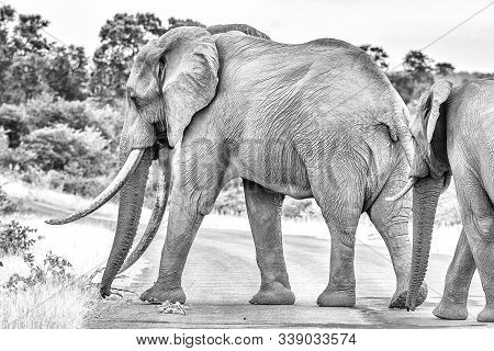 An african elephant with large tusks crossing a road in the Mpumalanga Province of South Africa. Monochrome stock photo