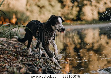 young black border collie dog on a beach by the river stock photo