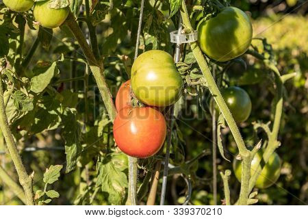 Heirloom tomatoes Solanum lycopersicum growing hydroponically in an organic garden stock photo