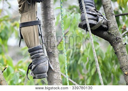 Overalls for climbing trees. Lumberjack works with a chainsaw. In special clothes. Professional in his field. using a chainsaw to trim a walnut tree, pruning trees stock photo