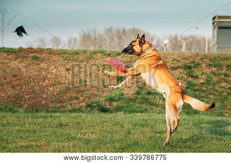 Malinois Dog Play Jumping Running With Plate Toy Outdoor In Park. Belgian Sheepdog Are Active, Intelligent, Friendly, Protective, Alert And Hard-working. Belgium, Chien De Berger Belge Dog. stock photo