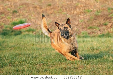 Malinois Dog Play Running With Plate Toy Outdoor In Park. Belgian Sheepdog Are Active, Intelligent, Friendly, Protective, Alert And Hard-working. Belgium, Chien De Berger Belge Dog. stock photo