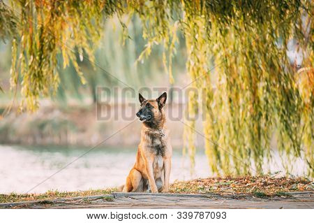 Malinois Dog Sitting Near Lake Under Tree Branches. Belgian Sheepdog Are Active, Intelligent, Friendly, Protective, Alert And Hard-working. Shepherd, Belgium, Chien De Berger Belge Dog. stock photo