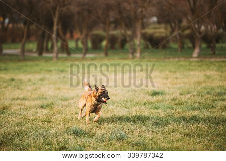 Malinois Dog Play Running With Ball Toy Outdoor In Park. Belgian Sheepdog Are Active, Intelligent, Friendly, Protective, Alert And Hard-working. Belgium, Chien De Berger Belge Dog. stock photo