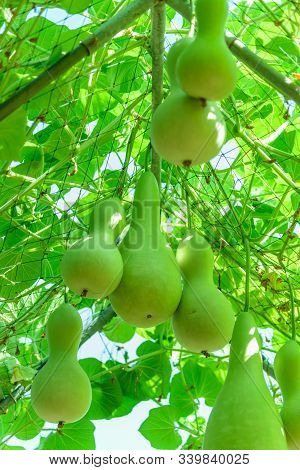 a lot of Green Chayote on tree stock photo