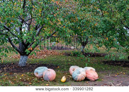 Several ripe pumpkins lie on the ground in the backyard stock photo