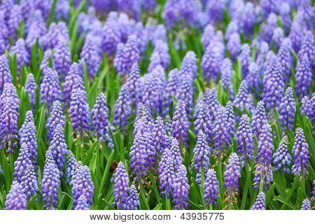 flower, muscari botryoides stock photo