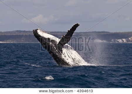 A Humpback whale breach in the hervey bay Australia ** Note: Slight blurriness, best at smaller sizes stock photo