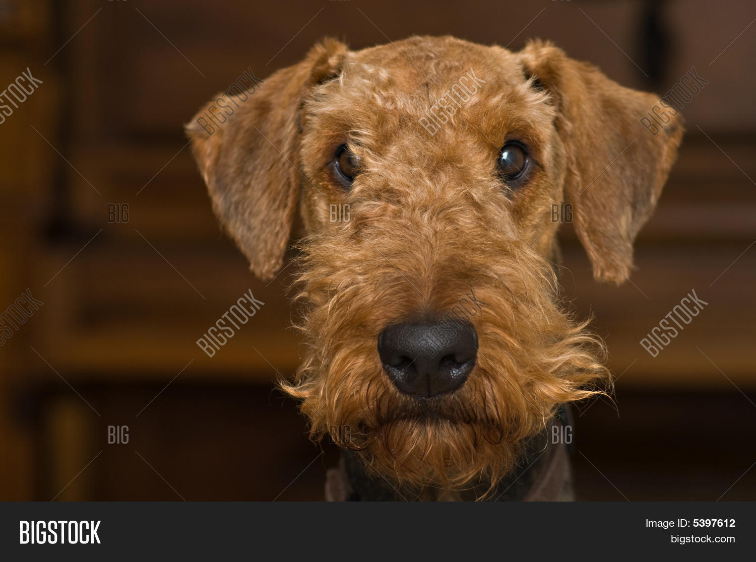 airedale,animal,beard,bearded,breed,brown,canine,close,comical,dog,emotion,expression,face,fluffy,funny,furry,head,indoors,innocence,innocent,interior,looking,mug,muzzle,nose,pedigree,pet,pose,posed,purebred,red,scruffy,shot,silly,snout,terrier,wispy