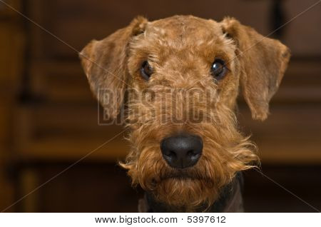 Innocent looking airedale terrier dog facing the camera in front of a wooden background inside. stock photo
