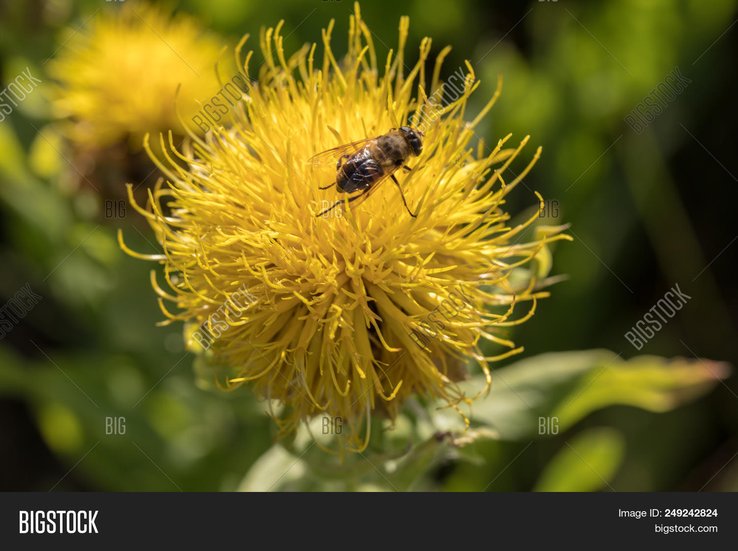 Blooming Yellow Star Thistle Flowers In A Garden Photo Stock