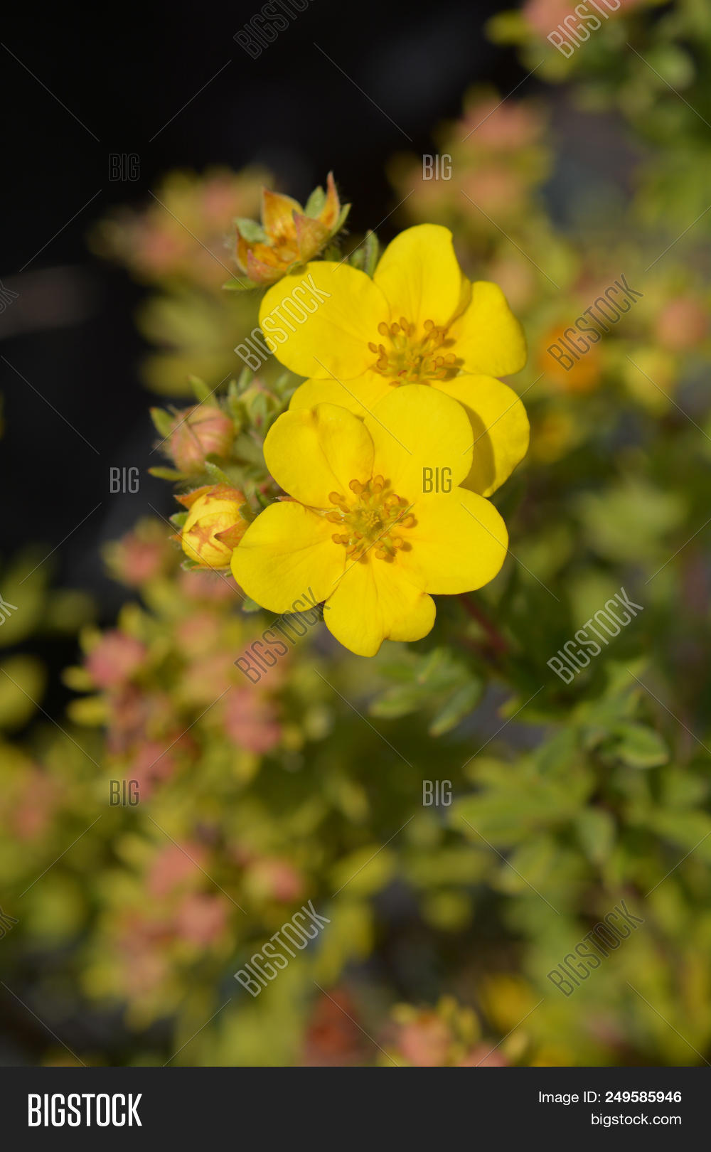 Elizabeth Cinquefoil Yellow Flowers Latin Name Potentilla