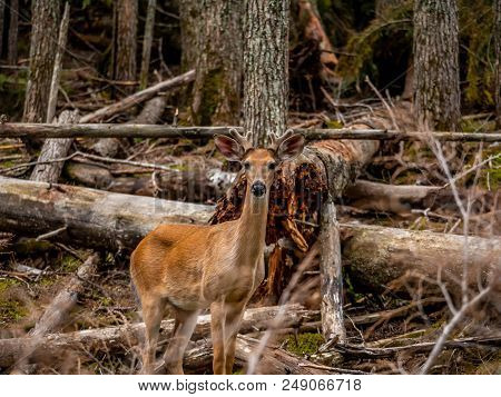A young buck whitetail deer poses along the Avalanche Lake Trail in Glacier National Park. Look closely and you can see the velvet covering the antlers. stock photo