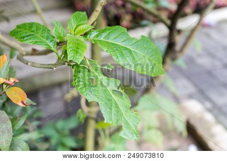 Green leaves tree with pest holes eaten by caterpillars, leaf damaged by insects. stock photo