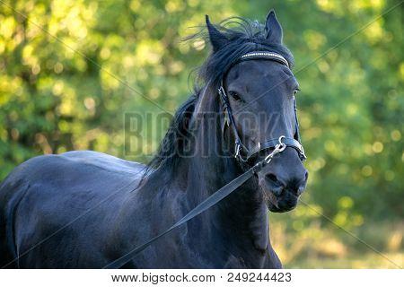 Black Friesian horse runs gallop in grass. Friesian horse running on halter.  Rare breed of horses stock photo