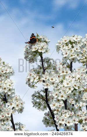 Against a pretty bokeh blue sky background, these insects make a nice picture on the blooms of a pear tree. stock photo