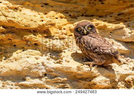 Little owl or Athene noctua sits on rock next to its hole stock photo