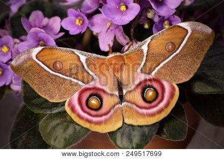 Suraka silk moth from Madagaskar, Antherina suraka, is sitting on purple flowers or Saintpaulia, or African violet. The moth is moving its hindwings with pink-framed eyespots to fighten the predator stock photo