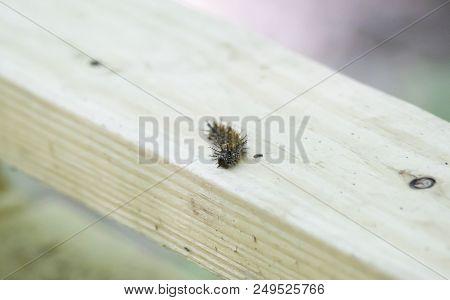 Venomous buck moth caterpillar on a wooden board stock photo