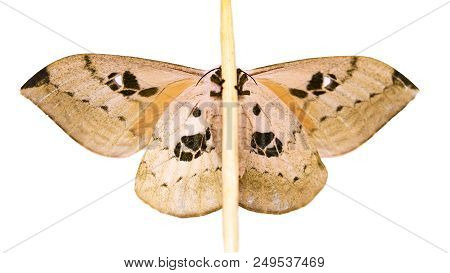 Automeris excteta moth from mountains of Mexico is sitting on a wand. Underside. Automeris moths fly at night. Its caterpillars have stinging bristles. Isolated on white background stock photo