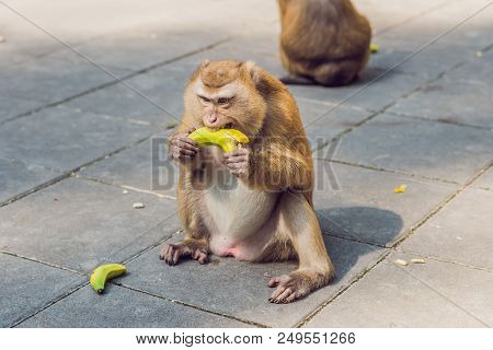 A macaca monkey, Khao Toh Sae Viewpoint on the Highest Hill in Phuket, Thailand. stock photo