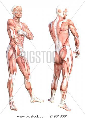 Conceptual anatomy healthy skinless human body muscle system set. Athletic young adult man posing for education, fitness sport, medicine isolated on white background. Biology science 3D illustration stock photo