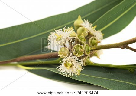 Eucalyptus branch with flowers  isolated on white stock photo