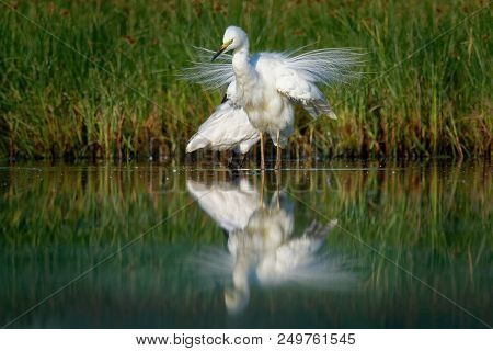 Great Egret -  Ardea alba in the water pond with opened white wings. stock photo