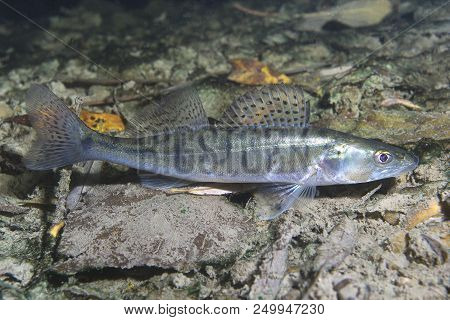 Freshwater fish pike perch (Sander lucioperca) in the beautiful clean pound. Underwater shot in the lake. Wild life animal. Pike perch in the nature habitat with nice background. Live in the lake. stock photo