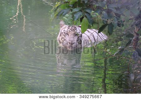 front view of happy white tiger in water pond under blur grass,Lets go animals wild for wildlife. Undomesticated animal species or wildlife. Wild tiger in natural environment. Raising awareness of the worlds wild fauna on world wildlife day. animals Wildl stock photo