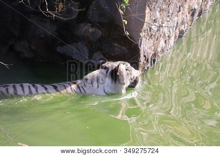 side view of Rare Black and White Striped Adult Tiger in water pond, Lets go animals wild for wildlife. Undomesticated animal species or wildlife. Wild tiger in natural environment. Raising awareness of the worlds wild fauna on world wildlife day. animals stock photo