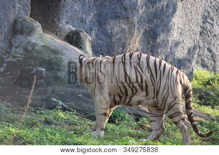 bend body white male tiger near by big tiger rock in Chennai ,Lets go animals wild for wildlife. Undomesticated animal species or wildlife. Wild tiger in natural environment. Raising awareness of the worlds wild fauna on world wildlife day. animals Wildli stock photo