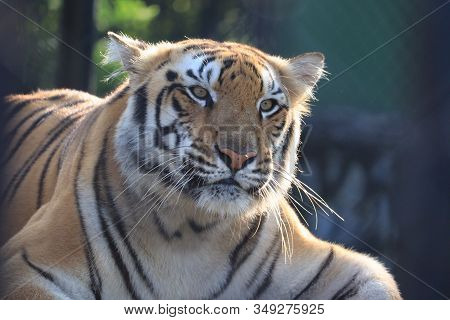 close up of sad tiger , male tiger,Lets go animals wild for wildlife. Undomesticated animal species or wildlife. Wild tiger in natural environment. Raising awareness of the worlds wild fauna on world wildlife day. animals Wildlife matters. animal wildlife stock photo