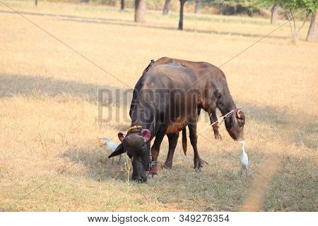 close-up of two domestic animals or buffaloes with red strong horned in the wild field, outdoors domestic animals, two animals, animals in nature, black animals, pair animals, animals life, horned animals stock photo