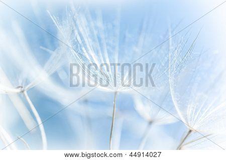 Macro de pissenlit abstrait, détail de la nature, printemps, floraison de fleurs, flou