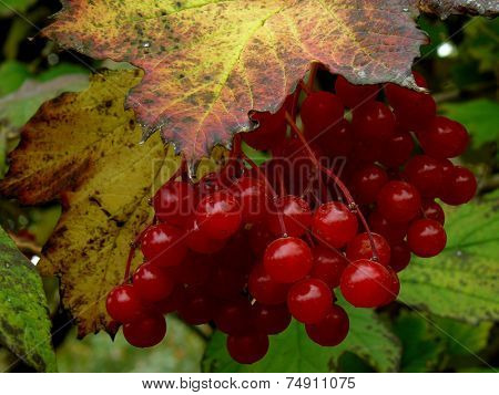 cluster of red viburnum among autumnal leaves stock photo
