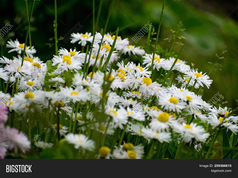 White Daisy On Green Field Daisy Flower Wild Chamomile White