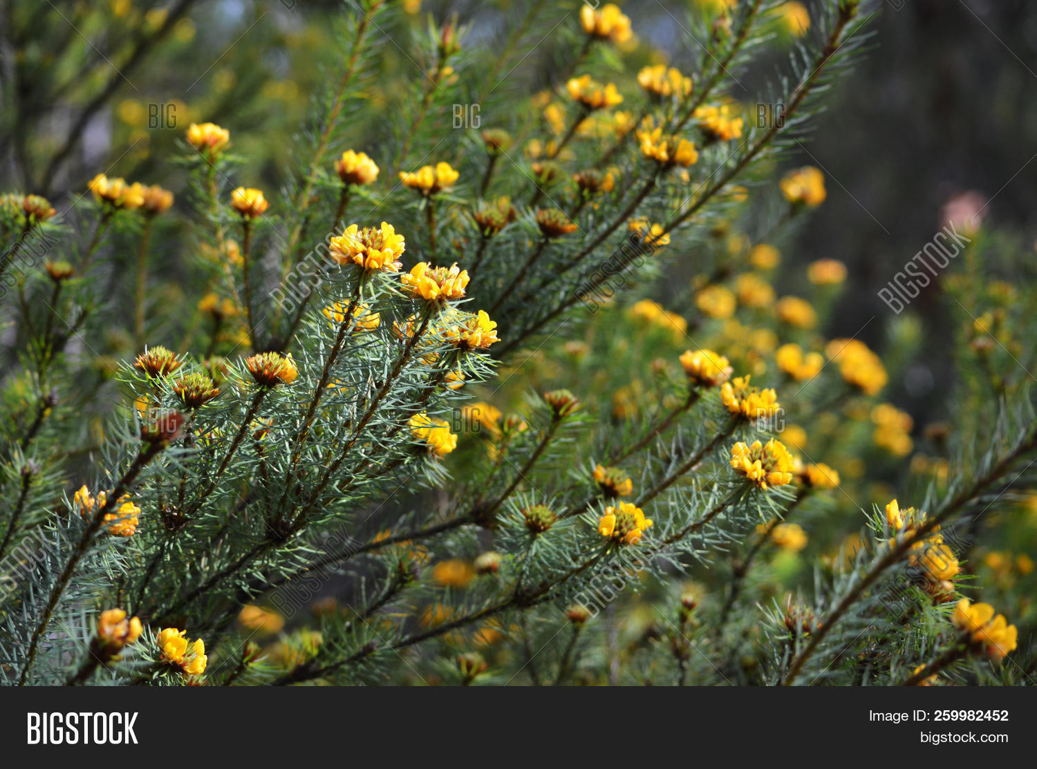 Australian Native Handsome Bush Pea Flowers Pultenaea Stipularis