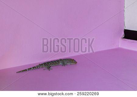 Closeup of a Tokay Gecko or Gecko gecko climbing on wall. stock photo