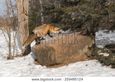 Amber Phase Red Fox (Vulpes vulpes) Climbs Up on Rock - captive animal stock photo