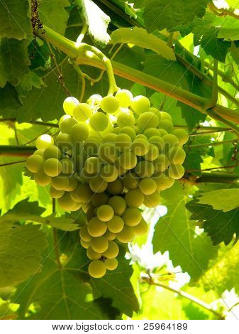 Big bunch of grapes lightened by backlight sunshine. stock photo