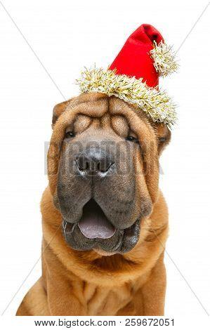 beautiful shar pei puppy in christmas cap stock photo