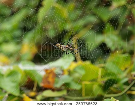 This spider is one of three types that is called a Banana spider. The only poisonous one is from Brazil. This is the silk-orb and is not poisonous. stock photo