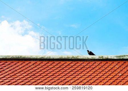 Gray and black dove or pigeon (Columba livia) is standing on orange tile roof at buddhist temple with blue sky and white clouds. stock photo