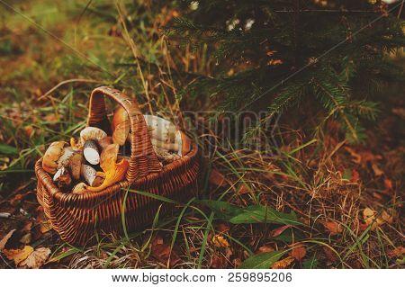 picking wild mushrooms in autumn forest. basket full of mushrooms, lifestyle shot. stock photo