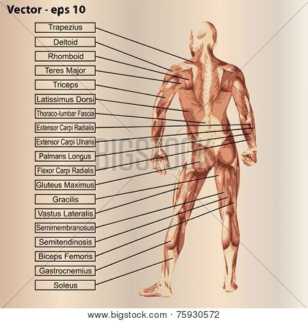 Vector concept or conceptual 3D male or human anatomy, a man with muscles and text on beige vintage background stock photo